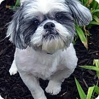 Adopt A Pet :: Teddy-ADOPTION PENDING - Bridgeton, MO