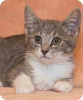 Domestic Shorthair Kitten for adoption in Elmwood Park, New Jersey - Little Bit