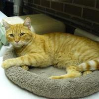 Domestic Shorthair/Domestic Shorthair Mix Cat for adoption in Jefferson, Iowa - Herky