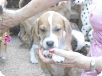 Beagle/Boxer Mix Puppy for adoption in ST LOUIS, Missouri - Noah