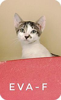 Domestic Shorthair Kitten for adoption in Brandon, Florida - Eva