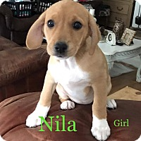 Adopt A Pet :: Nila - Brunswick, ME