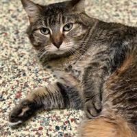 Domestic Shorthair/Domestic Shorthair Mix Cat for adoption in Merriam, Kansas - Uma