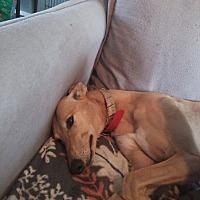 Greyhound Dog for adoption in North Port, Florida - Keeper Emmylou