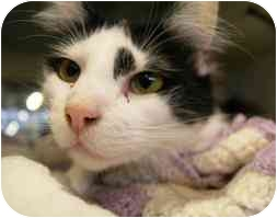 Domestic Longhair Cat for adoption in Walker, Michigan - Caboodle