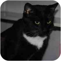 Domestic Shorthair Cat for adoption in Marietta, Georgia - P.J.