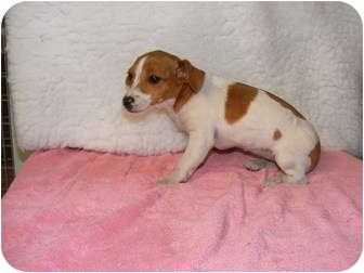 Jack Russell Terrier Mix Puppy for adoption in Rochester, New Hampshire - Jill