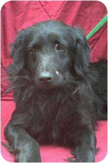 Flat-Coated Retriever Mix Dog for adoption in Poway, California - LARRY