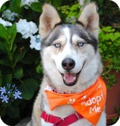 Husky/German Shepherd Dog Mix Dog for adoption in Encino, California - Sasha