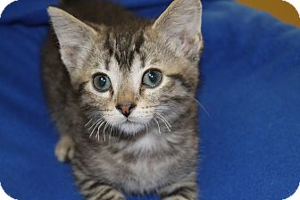 Domestic Shorthair Kitten for adoption in Battle Creek, Michigan - Jerry