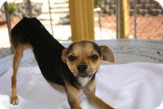 Chihuahua/Miniature Pinscher Mix Dog for adoption in Corona, California - BillieJooel, Reindeer Chi