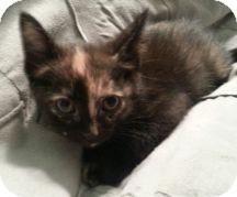 Domestic Shorthair Kitten for adoption in Proctorville, Ohio, Ohio - Picasso