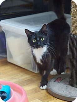 Domestic Shorthair Cat for adoption in Nashville, Tennessee - Hope