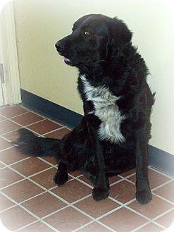 Golden Retriever/Newfoundland Mix Dog for adoption in White Cloud, Michigan - Clyde