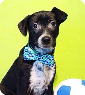 Labrador Retriever Mix Puppy for adoption in Castro Valley, California - Jack