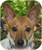 Jack Russell Terrier Mix Dog for adoption in Eatontown, New Jersey - Whitney