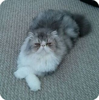 Persian Cat for adoption in Davis, California - Sammy