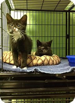 Domestic Shorthair Kitten for adoption in Bloomingdale, New Jersey - Wizard