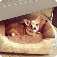 Adopt A Pet :: Millie (chihuahua)~ADOPTED! - Troy, OH