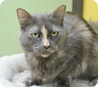 Manx Cat for adoption in Benbrook, Texas - Kia