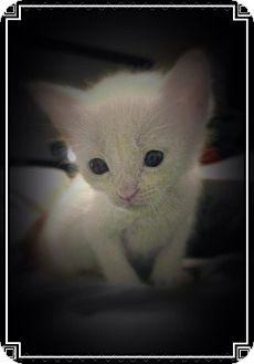 American Shorthair Kitten for adoption in Daleville, Alabama - Kittens