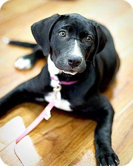 Labrador Retriever Mix Puppy for adoption in Asheboro, North Carolina - Rachel
