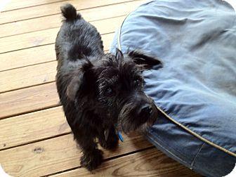 Schnauzer (Standard) Mix Dog for adoption in Austin, Texas - Stella