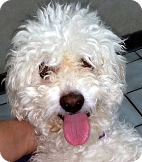 Poodle (Miniature) Mix Dog for adoption in Las Vegas, Nevada - Puppy