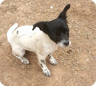 Rat Terrier Mix Puppy for adoption in Tijeras, New Mexico - Shawna