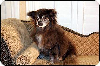 Pomeranian Dog for adoption in Dallas, Texas - Melanie