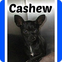 Adopt A Pet :: Cashew aka Cash - Shawnee Mission, KS