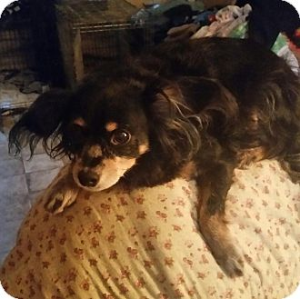 Chihuahua Dog for adoption in south plainfield, New Jersey - Fluff