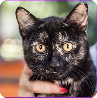 Domestic Shorthair Cat for adoption in St Helena, California - Fume