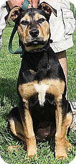 German Shepherd Dog/Boxer Mix Dog for adoption in Huntley, Illinois - Amber