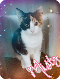 Calico Cat for adoption in Odessa, Texas - Misty