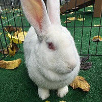 Adopt A Pet :: Gingham - Mission Viejo, CA