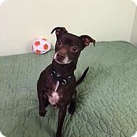 Adopt A Pet :: Toby-adoption pending - Schaumburg, IL