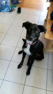 Labrador Retriever Mix Dog for adoption in Spruce Grove, Alberta - Riley