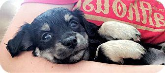 Dachshund/Terrier (Unknown Type, Small) Mix Puppy for adoption in Garland, Texas - Jason