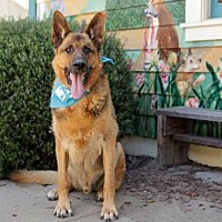 German Shepherd Dog Dog for adoption in Pacific Grove, California - Cirrus