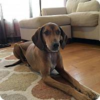 Vizsla/Coonhound Mix Dog for adoption in Round Lake Beach, Illinois - Harbor