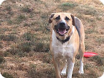 Shepherd (Unknown Type)/Boxer Mix Dog for adoption in Staunton, Virginia - Roscoe