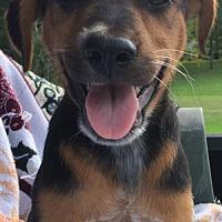 Adopt A Pet :: Nick - Hartford, CT