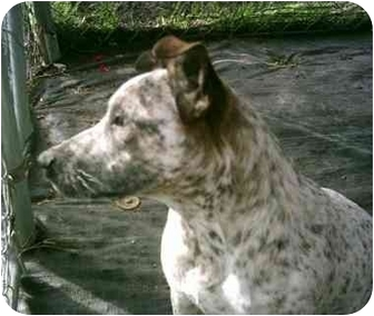 Cattle Dog Mix Dog for adoption in Homestead, Florida - RC