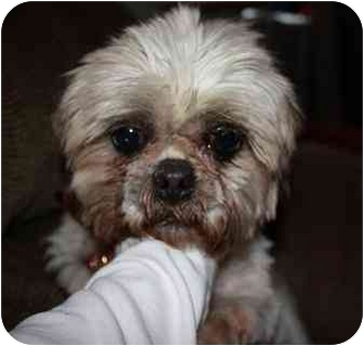 Shih Tzu Mix Dog for adoption in Homer, New York - Dusty