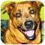 Photo 1 - Labrador Retriever/Rottweiler Mix Dog for adoption in Guelph, Ontario - Josie