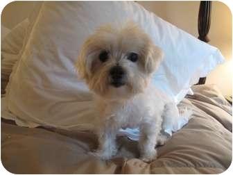 Maltese Dog for adoption in Long Beach, New York - Rosie