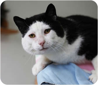 Domestic Shorthair Cat for adoption in Port Hope, Ontario - Campbell