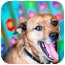 Photo 4 - Australian Cattle Dog/Dachshund Mix Dog for adoption in Houston, Texas - Sophie
