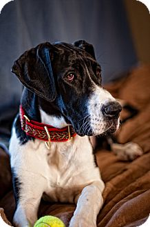 Great Dane Dog for adoption in Virginia Beach, Virginia - Misha